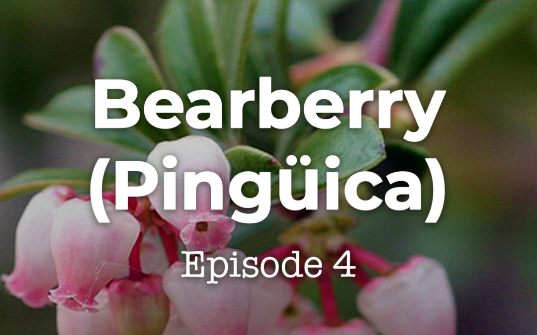 Feels and Flowers Episode 4- Talking about the Bearberry, aka Pingüica