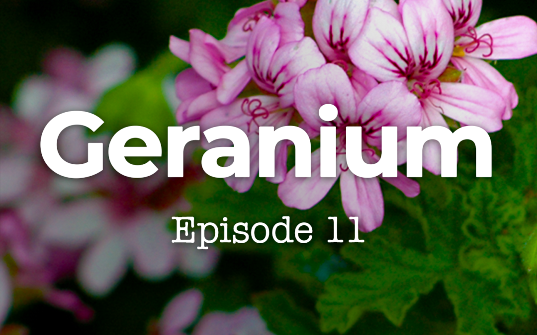 Geranium-Episode 11